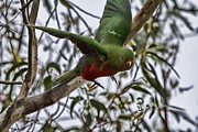 Parrot Metal Prints - King Parrot in Flight Metal Print by Douglas Barnard