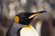 Focus On Foreground Art - King Penguin (aptenodytes Patagonicus), Headshot by Tom Brakefield