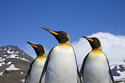Aptenodytes Sp Photos - King Penguin Aptenodytes Patagonicus by Ingo Arndt