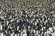 Aptenodytes Prints - King Penguin Colony Print by Tony Beck