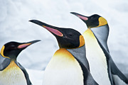 The Penguin Prints - King Penguin Print by Japanese amateur photog
