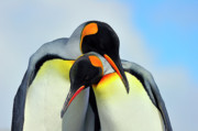 Nikon Framed Prints - King Penguin Framed Print by Tony Beck