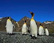 Aptenodytes Posters - King Penguins - Road Block Poster by Tony Beck