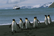 Groups Of Animals Metal Prints - King Penguins And Cruise Ship Lindblad Metal Print by Gordon Wiltsie