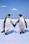 Love The Animal Prints - King Penguins (aptenodytes Patagonicus) (digital Composite) Print by Johnny Johnson