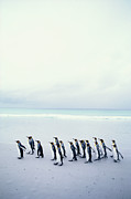 Full Length Prints - King Penguins (aptenodytes Patagonicus) Falkland Islands Print by Kim Heacox