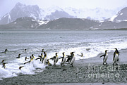Greg Dimijian - King Penguins Come Ashore