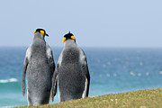 Bird At Sea Photos - King Penguins Courting (aptenodytes Patagonicus) by Daisy Gilardini