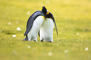 Aptenodytes Prints - King Penguins Courting In Falklands Print by Luciano Candisani