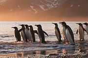 Featured Art - King Penguins Going To Sea St Andrews by Flip Nicklin