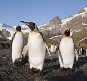 Featured Art - King Penguins Gold Harbor South Georgia by Flip Nicklin
