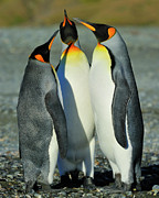 Bonding Metal Prints - King Penguins standoff Metal Print by Tony Beck