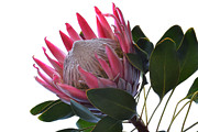 Protea Art Framed Prints - King Protea. Framed Print by Terence Davis
