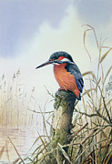 Water Bird Posters - Kingfisher Poster by Carl Donner