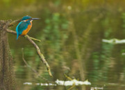 Kingfisher Originals - Kingfisher by Gary Maynard