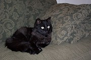 Golden Settings Pet Photography Photos - Kings Couch by Kara Kincade