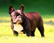 American Kennel Club Posters - Kings Frenchie Poster by Marcia Fontes Photography
