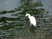 Kingston Prints - Kingston Jamaica Egret Print by Brett Winn