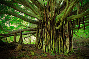 Towering Tree Prints - Kipahulu Banyan Tree Print by Inge Johnsson