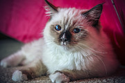Ragdoll Kittens Photos - Kisa The Ragdoll Quinn by Anton Shilman