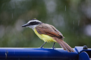 Tyrant Framed Prints - Kiskadee singing in the rain Framed Print by Craig Lapsley