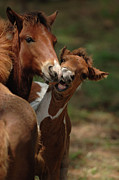 Paint Foal Metal Prints - Kiss Metal Print by Jana Goode