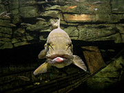 Muskellunge Posters - Kiss Me You Fool Poster by Donna Brown