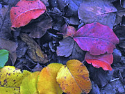 Fallen Leaf Photo Originals - Kiss Of Fall by Joe JAKE Pratt