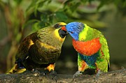 Parakeet Art - Kissing Birds by Carolyn Marshall