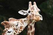 Smooch Prints - Kissing Giraffes Print by Brian Ernst