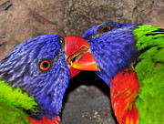 Kissing Framed Prints - Kissing Lorikeets Framed Print by David Lee Thompson
