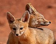 Max Allen - Kit Fox Pup Snuggling...
