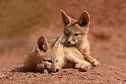 Twins Prints - Kit Fox Pups On A Lazy Day Print by Max Allen