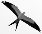 Swallow Photo Framed Prints - Kite Framed Print by Andrew Armstrong  -  Orange Room Images
