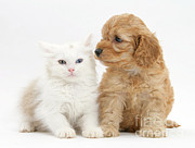 Cross Breed Photos - Kitten And Cockatoo Pup by Mark Taylor