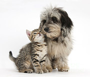 Mark Taylor - Kitten And Daxie-doodle Puppy