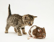 Brown Tabby Posters - Kitten And Hamster Poster by Jane Burton