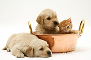 Golden Retriever Puppies Posters - Kitten And Pups In Pan Poster by Jane Burton