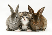 Tabby Cat Photos - Kitten And Rabbits by Jane Burton