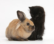 Fluffy Cat Prints - Kitten And Young Rabbit Print by Mark Taylor