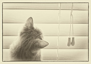 Fluffy Cat Prints - Kitten at blinds Print by Patrick M Lynch