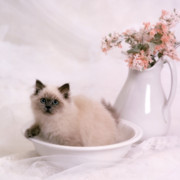 Hair-washing Photo Posters - Kitten Bath Poster by Crystal Garner