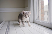 Window Sill Posters - Kitten By Window Poster by Cindy Loughridge