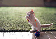 Y120817 Art - Kitten Catches Feather Toy by Benjamin Torode