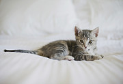 Resting Metal Prints - Kitten Metal Print by Cindy Loughridge
