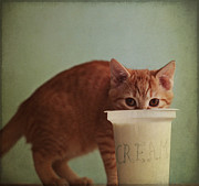 Cream Color Posters - Kitten Eating From Big Pot Of  Cream Poster by By Julie Mcinnes