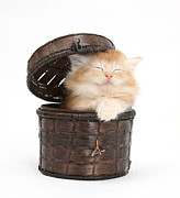 Sleeping Baby Animal Framed Prints - Kitten In A Basket Framed Print by Mark Taylor