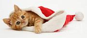 Kitten In A Santa Hat Print by Jane Burton