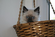Diana Poe - Kitten in Basket