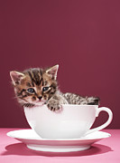 Coffee Cup Animal Posters - Kitten In Cup And Saucer Poster by Martin Poole